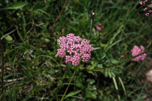 Yarrow, Blueme, Blossom, Bloom, Pink