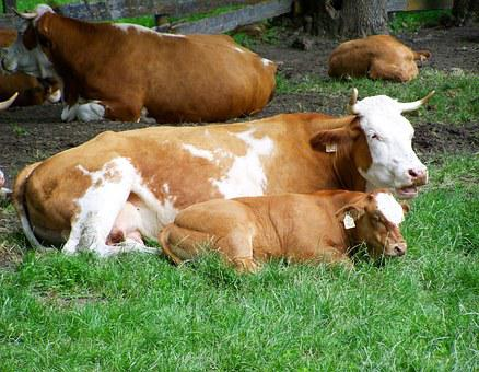 Brown And White Cow, Mother And Borja, Cattle