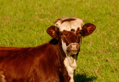 Calf, Cattle, Stock, Brown, White, Young, Face, Field