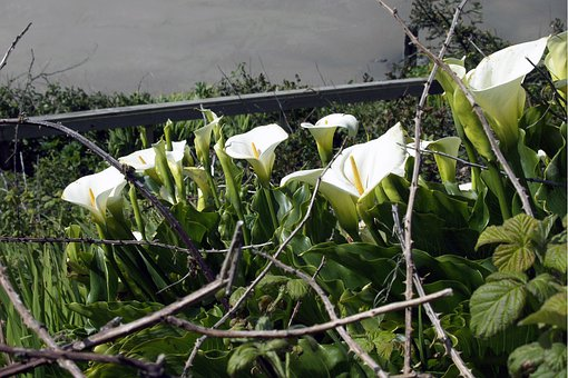Calla, Flower, Garden, Nature, Floral, Blossom, Bloom