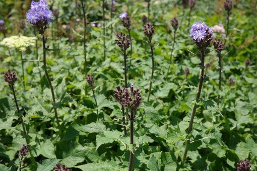 Cicerbita Alpina, Flower, Blossom, Bloom, Blue Violet