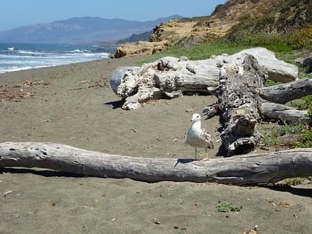 Sea, Sea Gull, Coast, Coastal, Ocean, Drift Wood, Beach