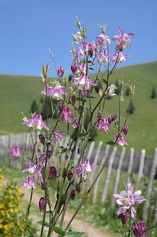 Columbine, Flower, Blossom, Bloom, White Pink