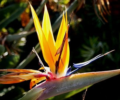 Flower, Formal, Orange, Blue, White, Bird Paradise