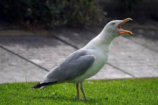 Seagull, Noisy, Gull, Squawk, Squawking, Nuisance, Open