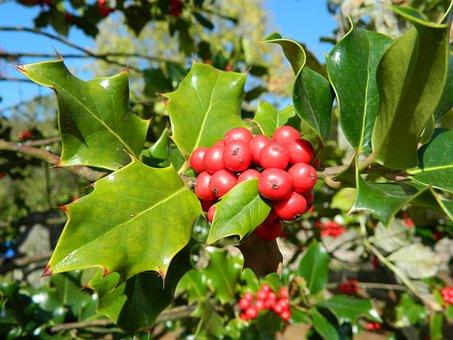 Holly, Shrub, Tree, Christmas Time, Leynes, France
