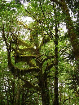 Trees, Moss, Lake Quinault, Nature, Wilderness