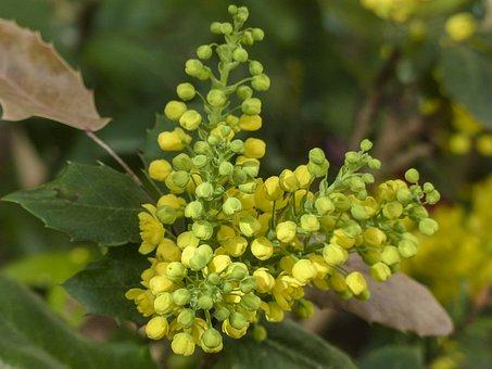 Mahonia, Mahonia Aquifolium, Berberis Aquifolium