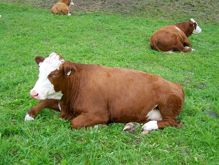 Brown And White Cow, Regurgitate, Relax, Cattle, Meadow