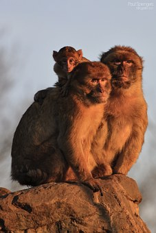 Berber Monkey, Monkey, Monkeys, Animals