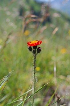 Orange Red Hawkweed, Flower, Blossom, Bloom, Orange
