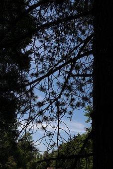 Black Pine, Tree, Conifer, Needles, Pinus Nigra