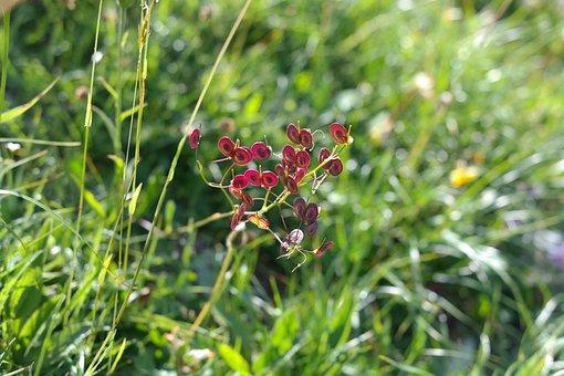 Schötchen, Seeds, Red, Plant, Smooth Brillenschötchen