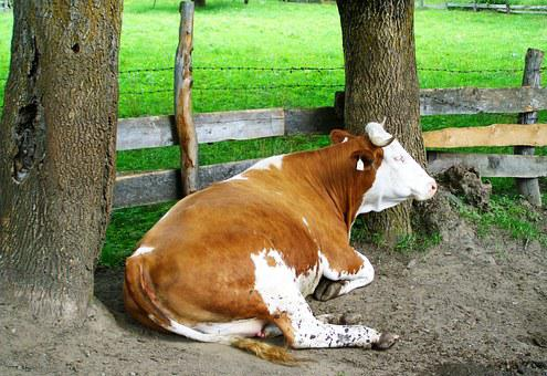Brown And White Cow, Relax, Regurgitate, Cattle