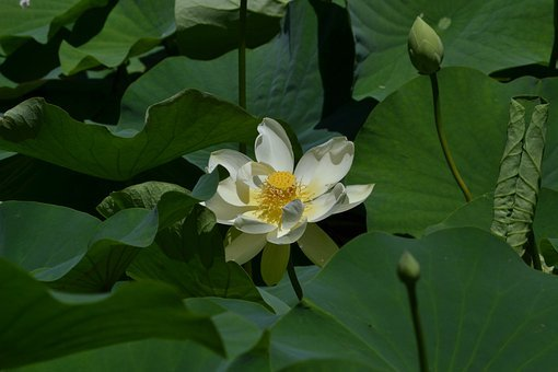 Lotus, Flower, Single, Special, Love, Prayer