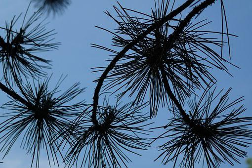 Branch, Pine Needles, Needles, Black Pine, Tree