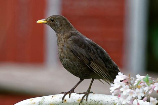 Blackbird, Female, Turdus Merula, Bird, Brown