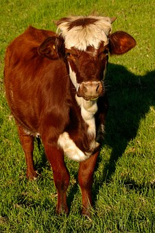 Calf, Cattle, Stock, Brown, White, Young, Standing