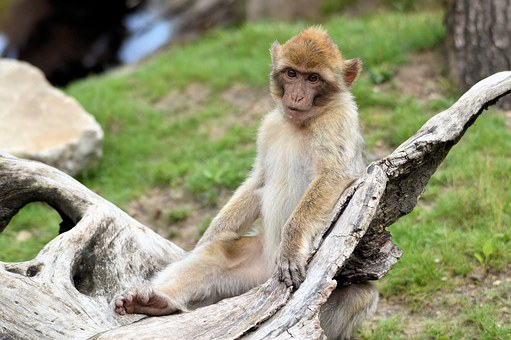 Berber, Monkey, Ape, Series, Primate, Animal, Wildlife
