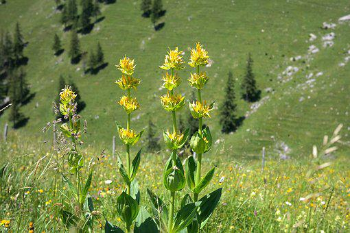 Yellow Gentian, Blossom, Bloom, Flower, Yellow