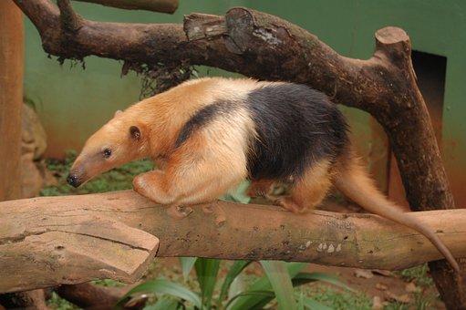 Anteater, Animal, Fauna, Brazil, Eater Termites, Mammal