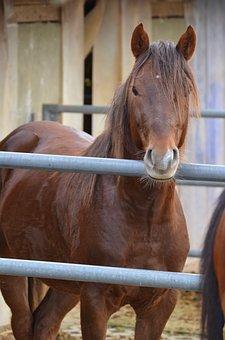 Brown Horse, Stallion, Deckhengst, Stall