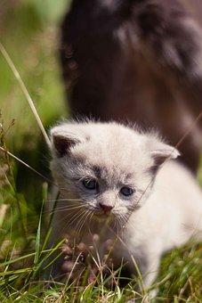 Animal, British Blue Lilac, Cat, Feline, Kitten, Pet