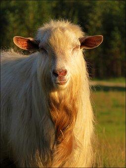 Goat, Animal, Nature, Fur