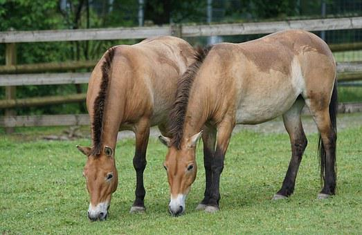 Przewalski, Wild Horse, Pasture, Graze, Mammal