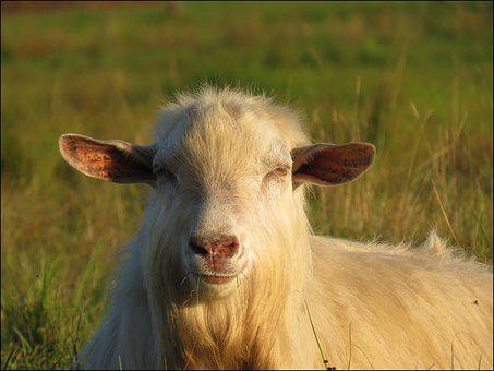 Goat, Nature, Fur