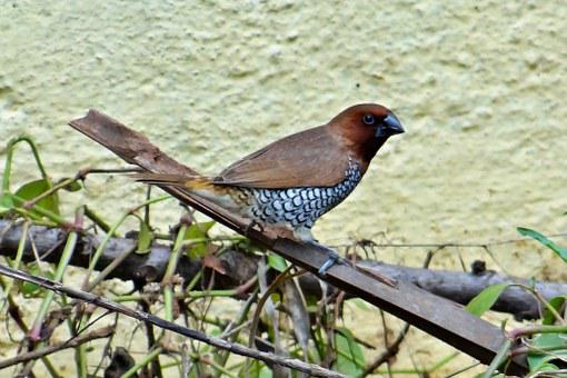 Spotted Munia, Scaly-breasted Munia
