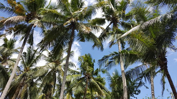 Palm, Tree, Tropical, Indonesia, Bali, Coconut, Nature
