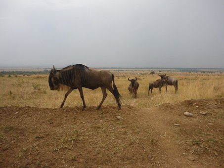 Gnu, Flock, Savannah, Masai Mara, Kenya, Africa