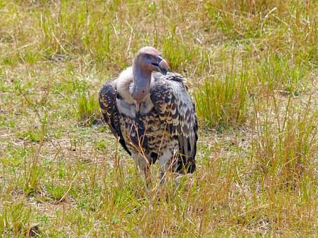 Vulture, Birds, Wildlife, Scavenger, Africa, Kenya