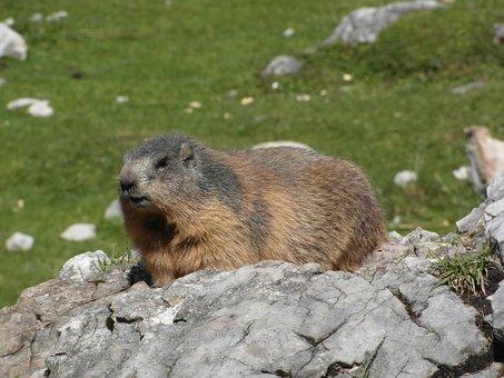 Marmot, Alpine, Rodent, Alpine Marmot, Mammal