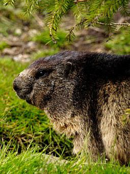 Marmot, Rodent, Close, Alpine