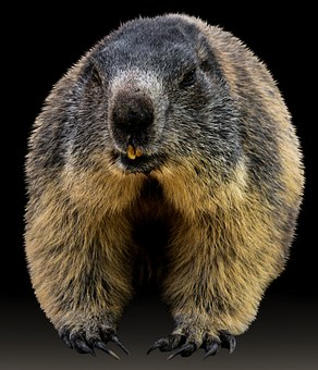 Marmot, Animal, Rodent, Alpine, Furry, Alpine Marmot