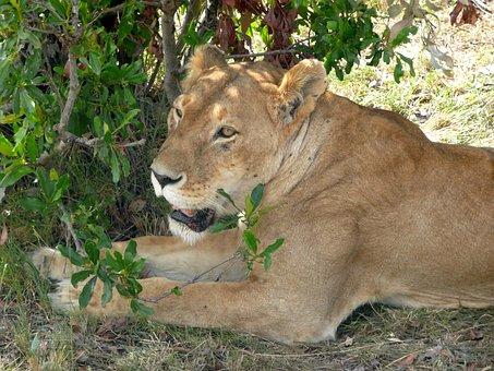 Lion, Lioness, Wildlife, Wild, Cat, Big, Animal, Nature
