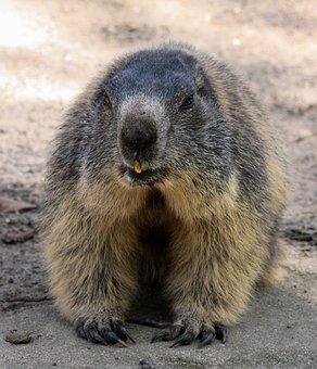 Marmot, Animal, Alpine, Rodent, Furry