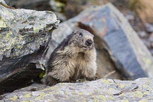 Marmot, Animal, Mountain, Wildlife, Cute, Nature, Wild