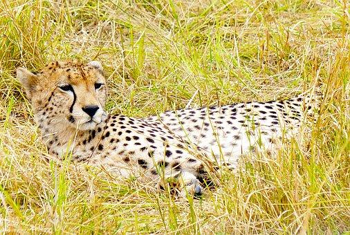 Cheetah, Big Cat, Predator, Feline, Africa, Kenya