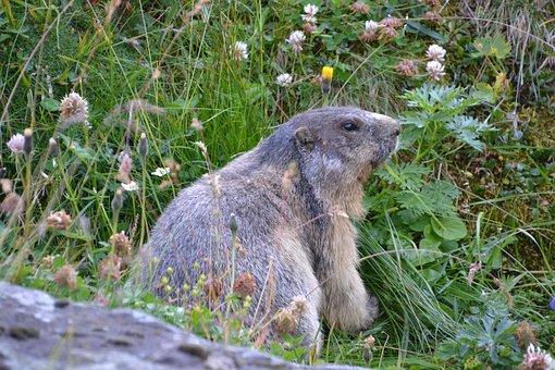 Marmot, Grossglockner, Carinthia