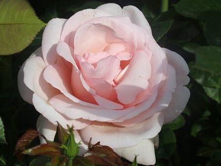English Rose, Rosebush, Open Grills