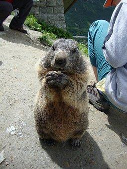 Marmot, Animals, Nature, Eating, Begging, Enjoy, Alpine