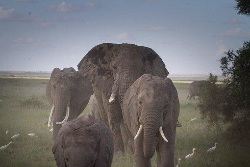 Herd Of Elephants, Elephant, National Park, Kenya