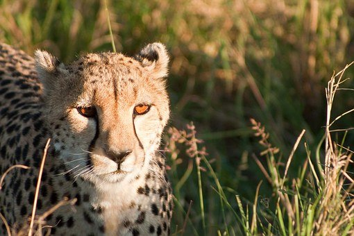 Cheetah, Kenya, Africa, Cat, Masai, Mara, Safari