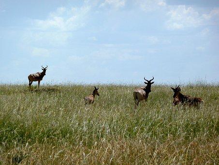 Antelope, Kenya, Africa, Nature, Wild, Wildlife, Safari