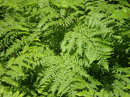 Ferns, Bracken, Greenery, Greens, Flora, Plants, Leaves