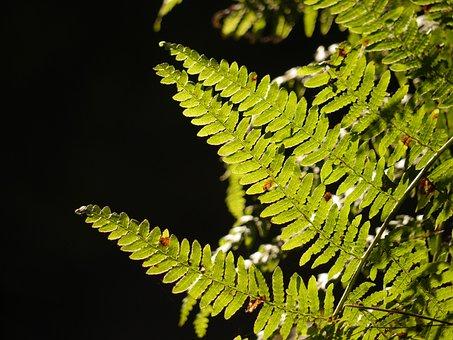 Bracken, Leaves, Leaf, Fern, Nature, Plant, Green