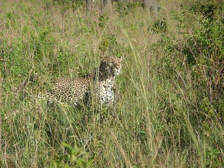 Leopard, Cat, Animal, African, Nature, Kenya, Grass